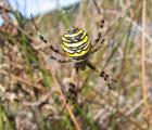 Argiope-G.SOURGET