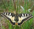 Machaon-G.SOURGET